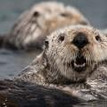 Морская выдра — любитель поплавать