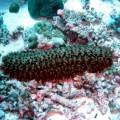 Морской огурец — развалившись на дне морском