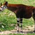 Окапи - пугливый родственник жирафа