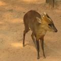 Оленёк - крохотный олень