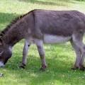 Осел - выносливый родственник лошади