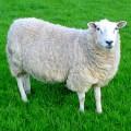 Овца - одомашненное стадное животное