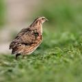 Перепелка вирджинская — громкоголосая птица