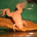 Суринамская пипа — ячеистая спина