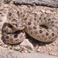 Свиноносая змея. Умелая обманщица