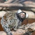 Тамарин — юркая южноамериканская обезьянка