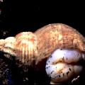 Трубач — морской моллюск
