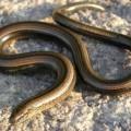 Веретеница — безногая ящерица, умеющая погружаться в спячку