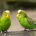 Волнистый попугайчик — любитель поболтать