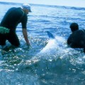 Вылеченных дельфинов отпускают обратно в море
