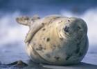 Тюлень — обитатель холодных вод