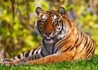 Тигр — мощная полосатая кошка из Азии