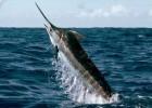 Рыба-меч — длиннорылый хищник