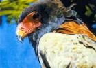 Орел-скоморох — хищный акробат