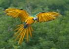 Ара — пестрая птица с мощным клювом