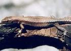 Артвинская ящерица