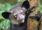 Ай-ай — один из самых причудливых приматов