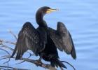 Бакланы — птицы, которые любят беспорядок