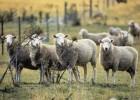 «Баня» для овец
