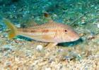 Барабулька — тропическая рыба с пищевыми «щупальцами»