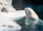 Белуха — белоснежный арктический кит