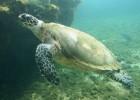 Бисса — морская черепаха на грани исчезновения