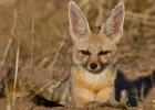 Большеухая лисица. Хищник, который умеет слушать