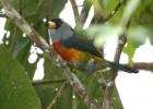 Бородатка — цветастая птица, живущая на трех континентах