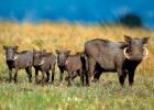 Бородавочник — африканский кабан