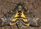 Бражник «Мертвая голова» — бабочка с черепом на спине