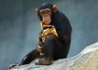 Шимпанзе — умный примат