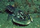 Омар — огромный морской рак