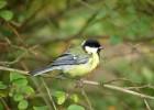 Синица большая — лесная птичка с характерным окрасом
