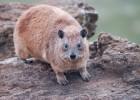 Даман — небольшое млекопитающее с неясным родством