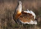Дрофа — птица или куча перьев?