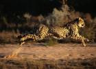 Гепард — мировой рекордсмен