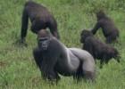 Человекообразная обезьяна — отлично лазает по деревьям и неплохо ходит по земле