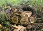 Гремучая змея — термочувствительная погремушка