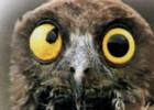 Иглоногие совы нашли новый дом