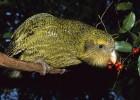 Какапо — нелетучая ночная птица
