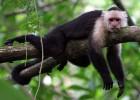 Капуцин — свистящая обезьяна