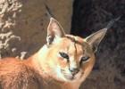Каракал — кошка с отличным слухом