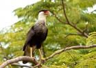 Каракара — всеядная птица
