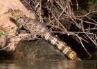 Кайман — тропический малютка-крокодил