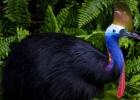 Казуар — серьезная птица
