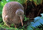 Киви — птица с чувствительным клювом
