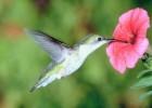 Колибри — крошечный сластена