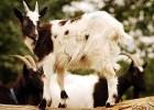 Уход за копытами коз и овец
