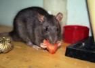 Как кормить крысу