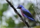 Котинговые — птицы удивительной красоты